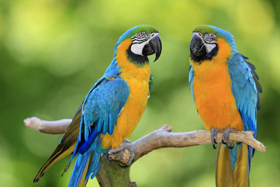 Blue and yellow macaw, (Ara ararauna), South America, adult couple on branch.