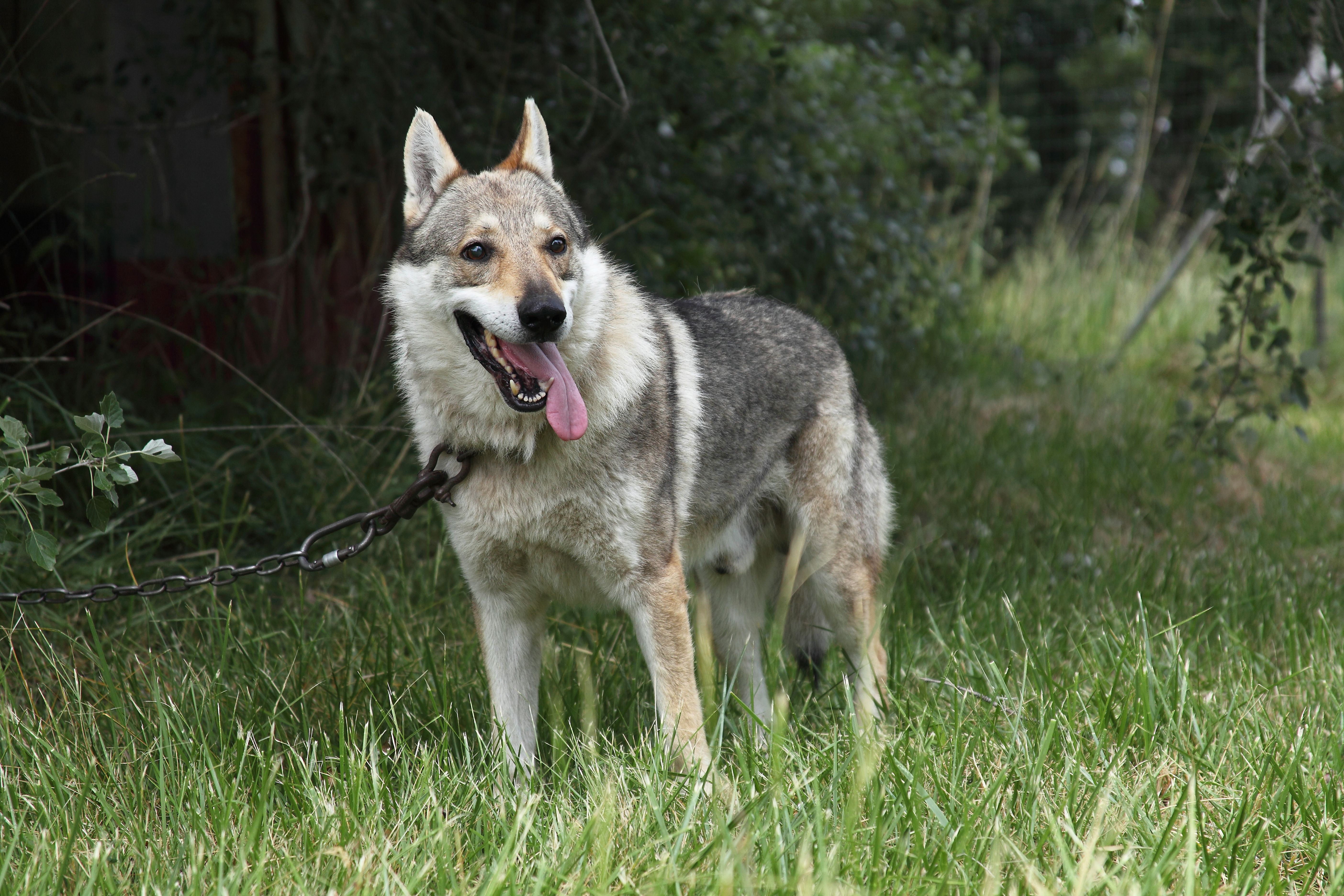A Guide To Wolf Dogs As Pets