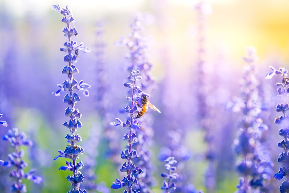 Bee on flowers of lavender plant.