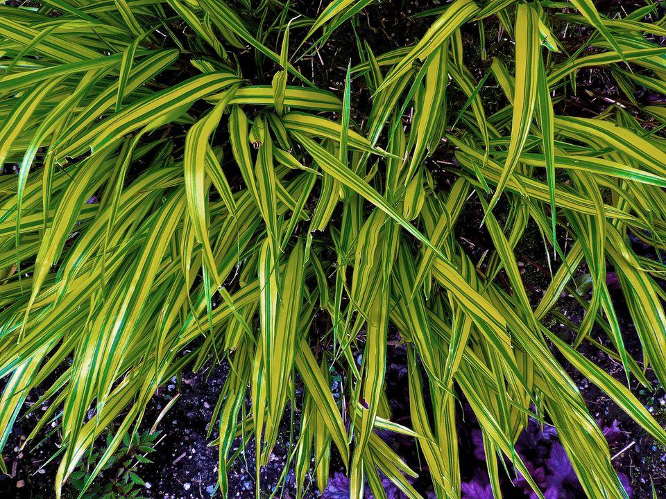 Hakonechloa Grass
