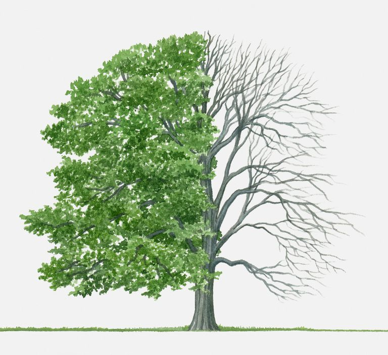 American Beech A Top 100 Common Tree In North America