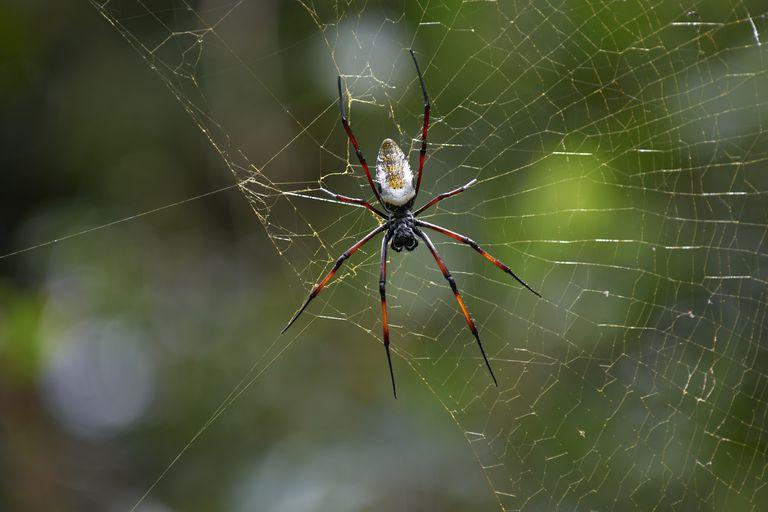 spider Golden silk orb-weaver, Nephila
