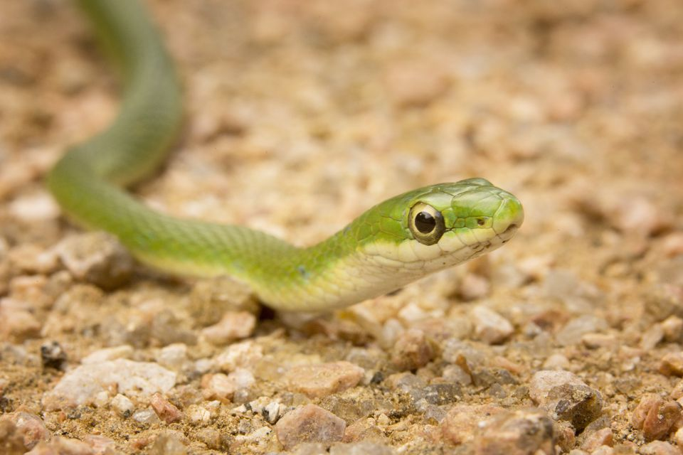 Rough green snake