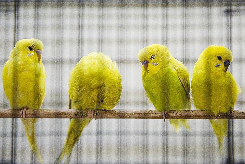 Yellow Parakeet Birds in a Cage