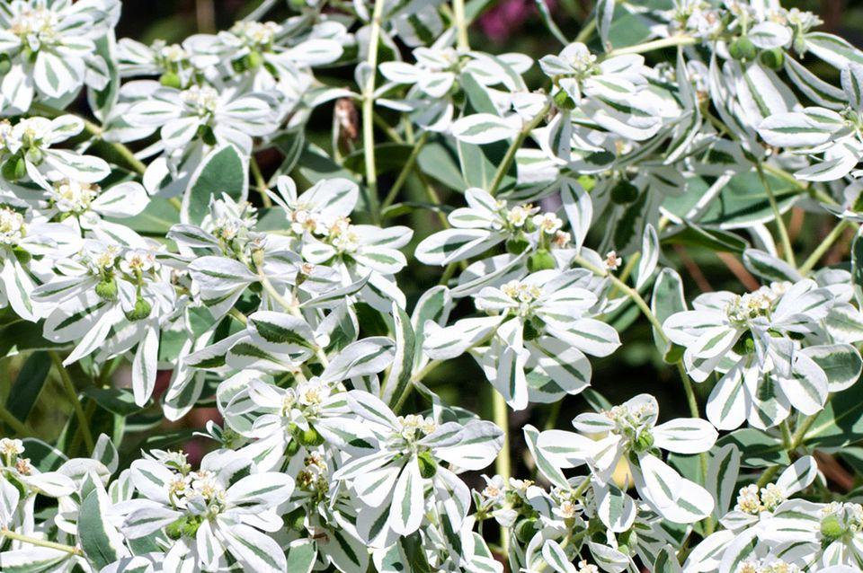 Snow-on-the-Mountain (Euphorbia marginata)