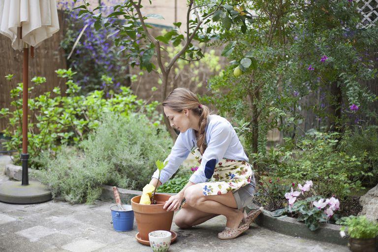 Woman potting small fig tree