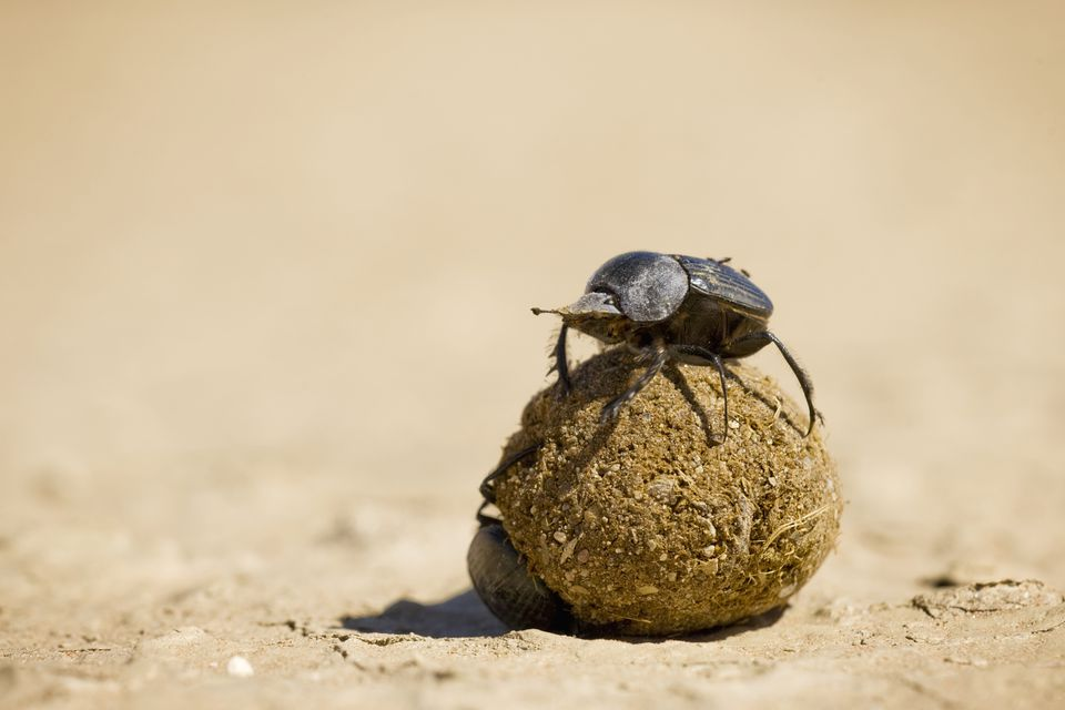 Fun Facts About African Animals: Amazing Dung