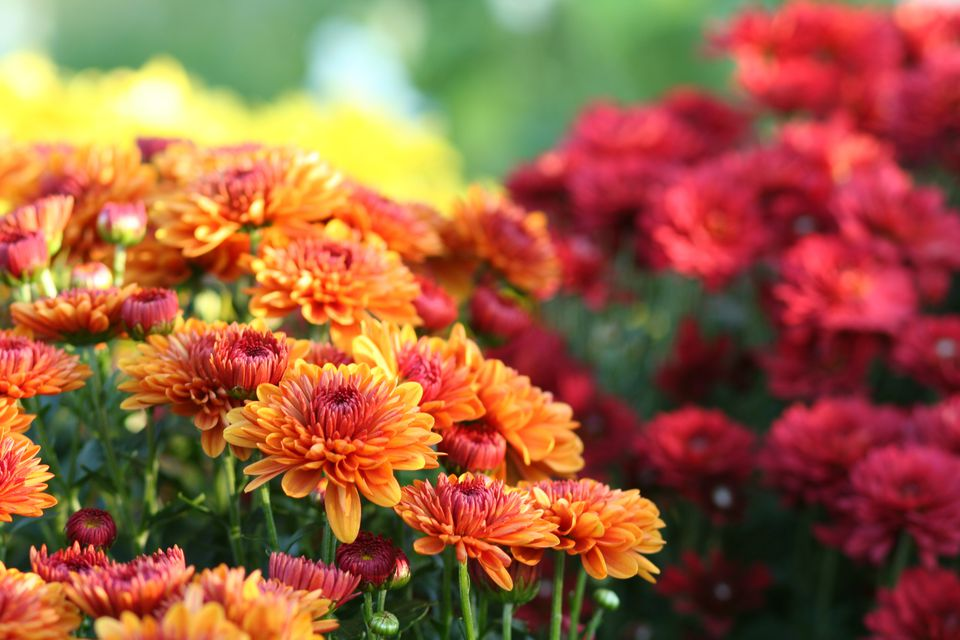 A close-up of some chrysanthemums