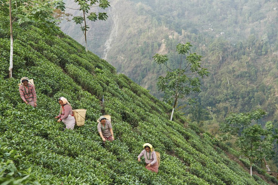 Plucking tea in Darjeeling.
