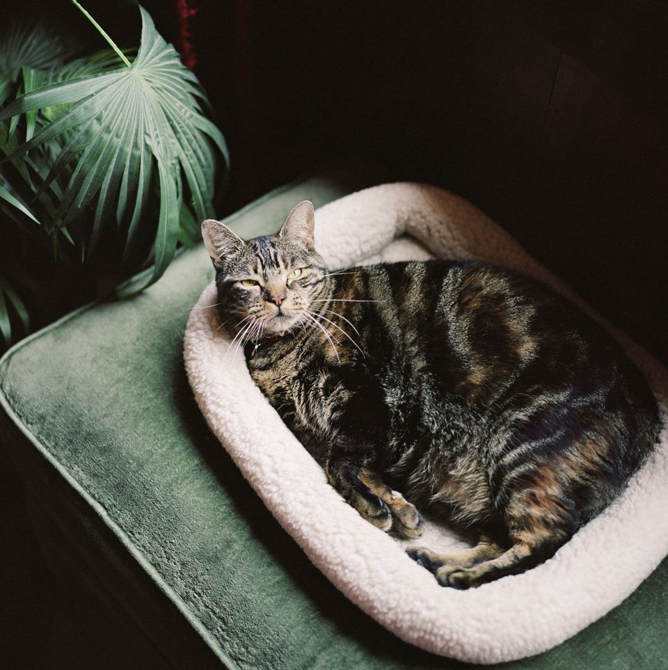 Photo of Pregnant Cat in Comfortable Cat Bed