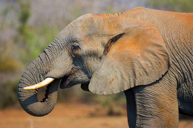 An elephant lifting its trunk to its mouth as it drinks.