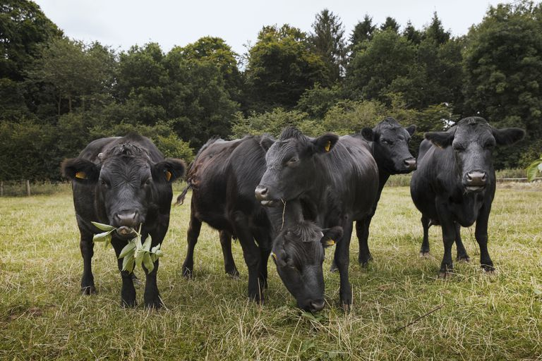 Small herd of Dexter cattle on a pasture.
