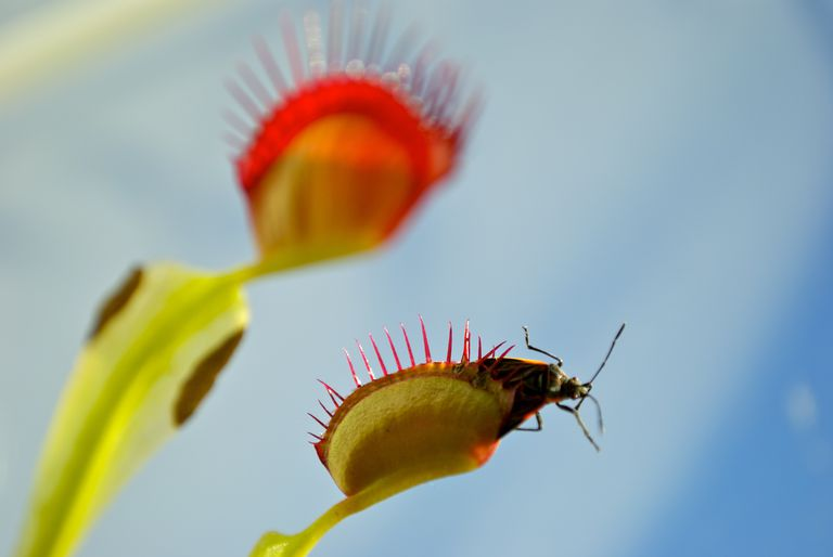 Venus atrapamoscas Dionaea muscipula con su presa