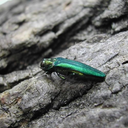 Emerald ash borers are metallic green, and belong to the jewel beetle family.