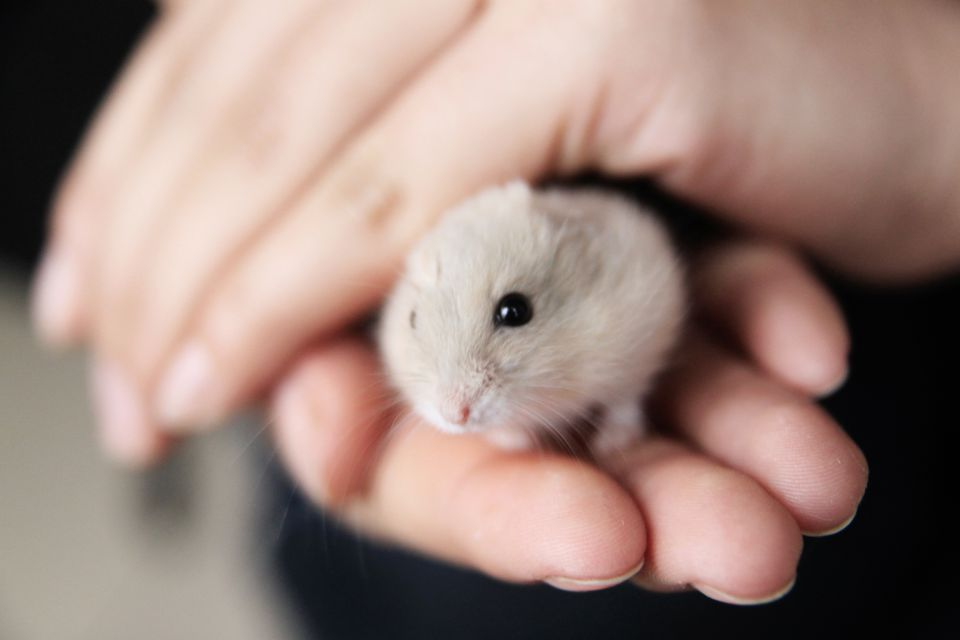 Chinese hamster in hands