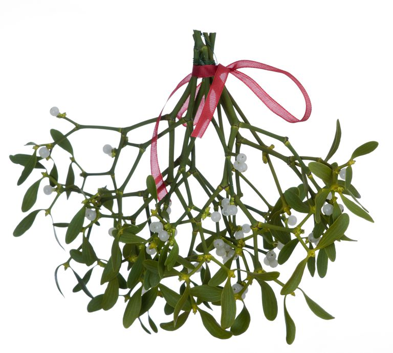There are several species of mistletoe. Some species are quite toxic.