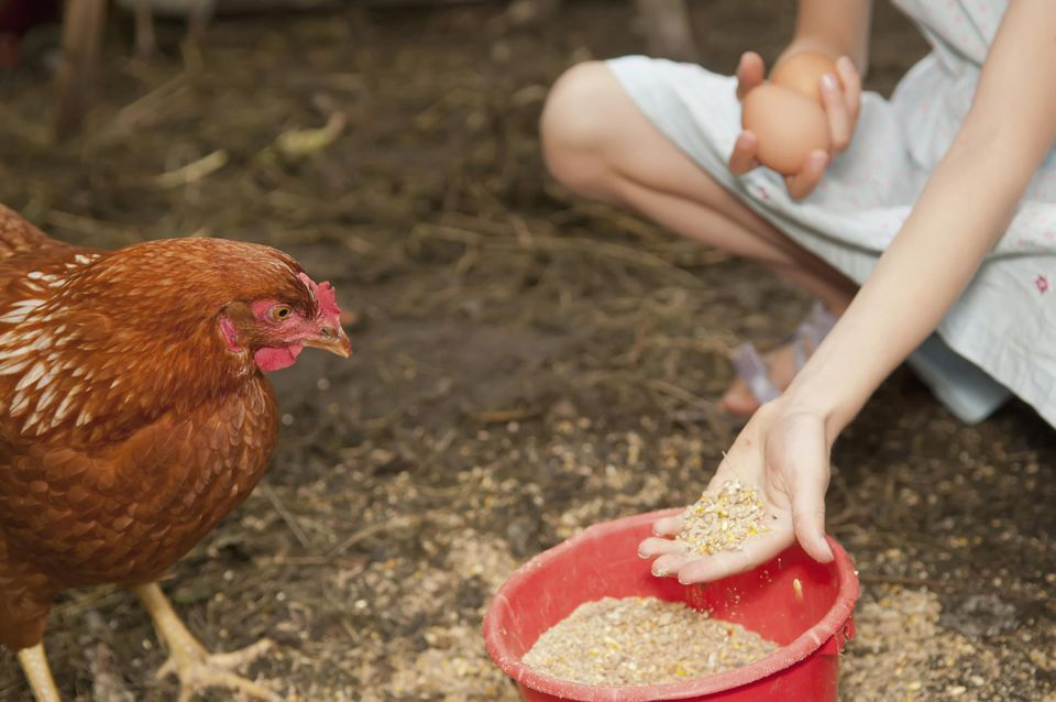 Girl feeding a hen by hand.