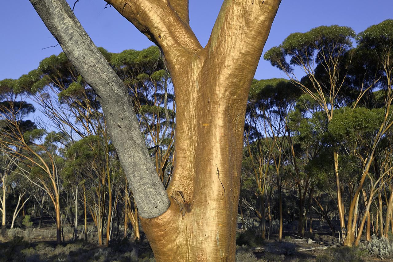 Find Out If Regular Everyday Chewing Gum Comes From Gum Trees