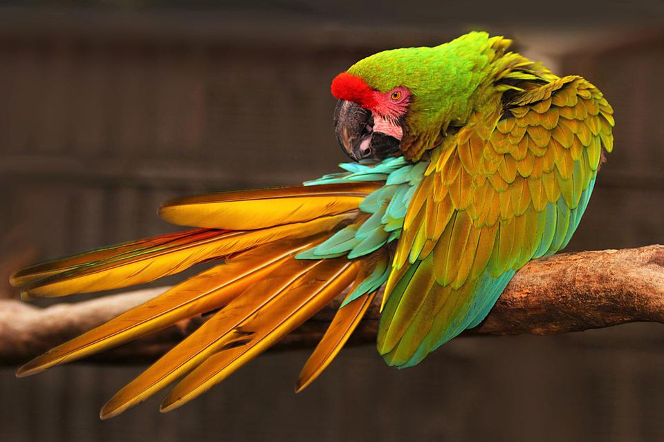 Military Macaw (Ara militaris) is a large parrot and a medium-sized member of the macaw genus. Though considered vulnerable as a wild species, it is still commonly found in the pet trade industry.