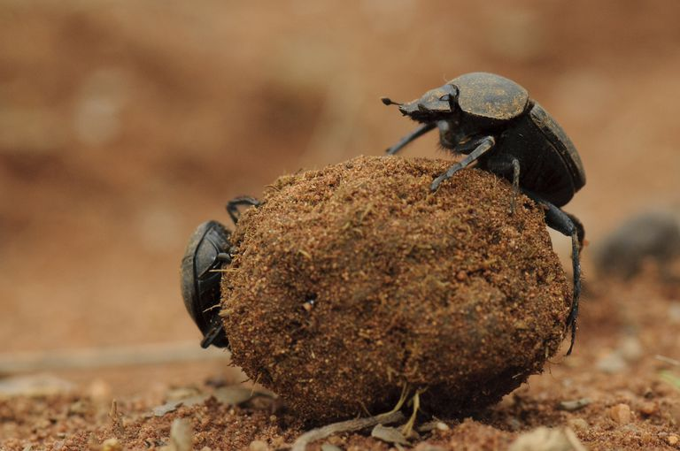 Dung beetles rolling a ball of dung.