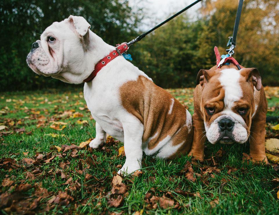 pet bulldogs