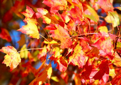 You'll often find red maple tree leaves tri-colored: red, green and yellow.