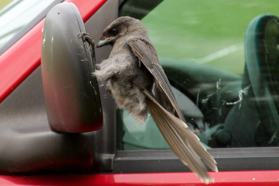 Gray Jay Attacking Car Mirror