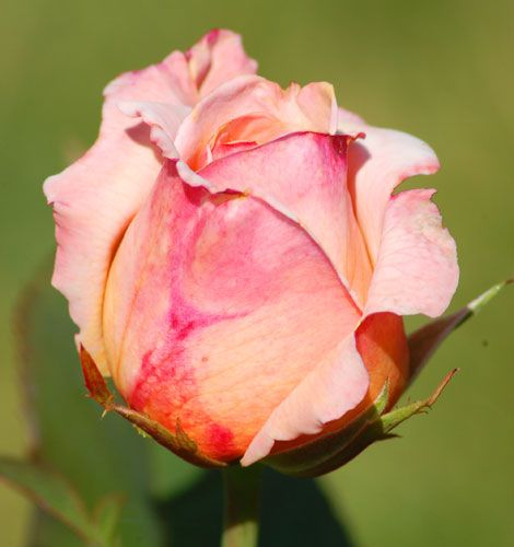 """Tahitian Sunset"" is an apricot-pink rose. This peach color hybrid tea exudes a licorice fragrance."