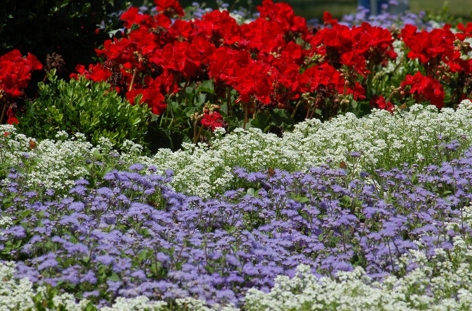 Red geraniums, white alyssum and blue ageratum for a patriotic border for July 4.