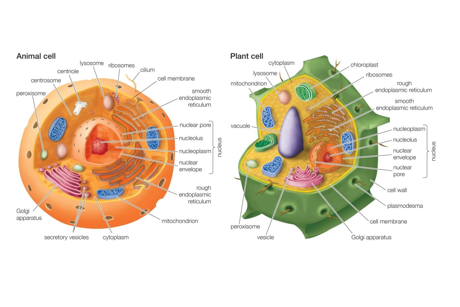 Essential Differences Between Animal and Plant Cells - photo#5