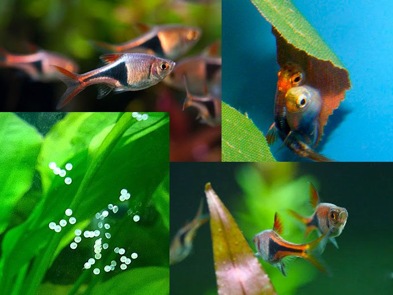 Harlequin Rasbora easy aquarium fish to breed