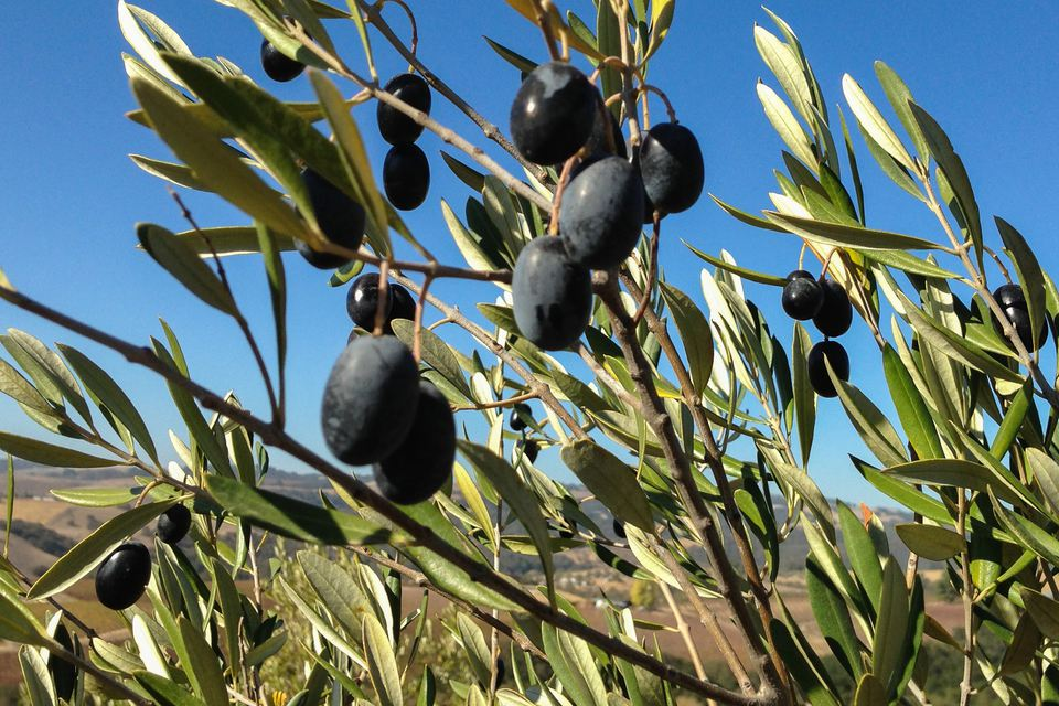 Time for New Olive Oil at Kiler Ridge Near Paso Robles