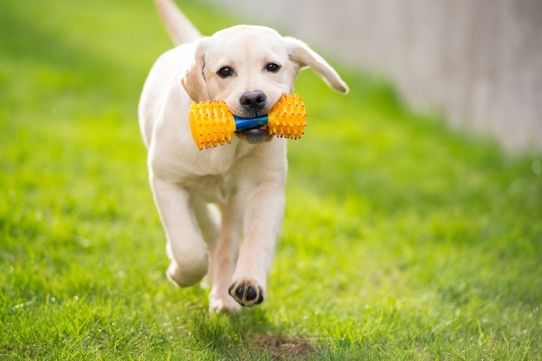 Labrador running with toy