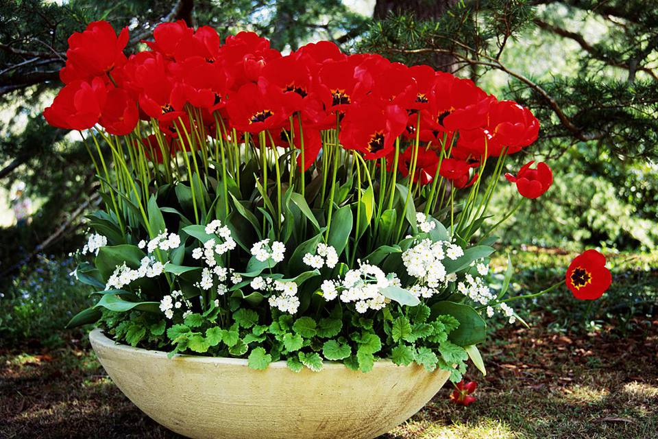 Container with red Tulip (Tulipa) and Primrose (Primulas)