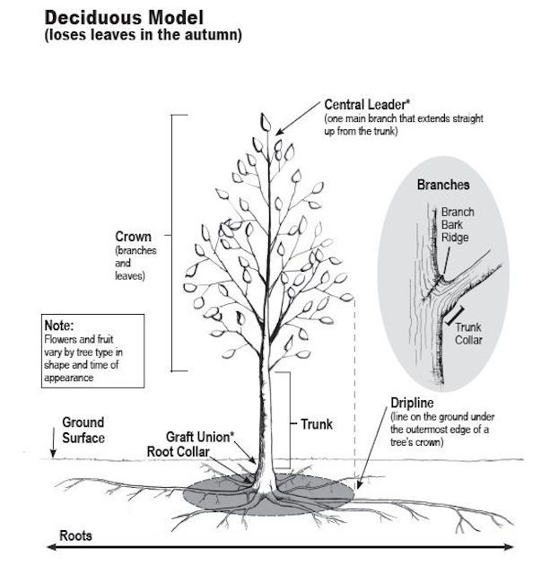 Tree parts and growth