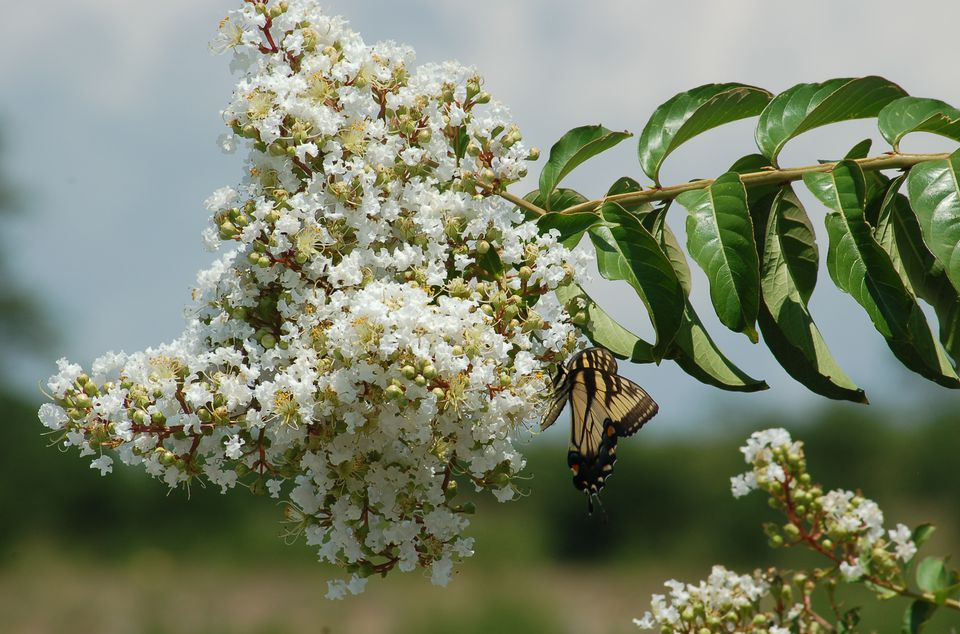 Image: A tiger swallowtail drinks at the font of a white-flowering crepe myrtle bush.