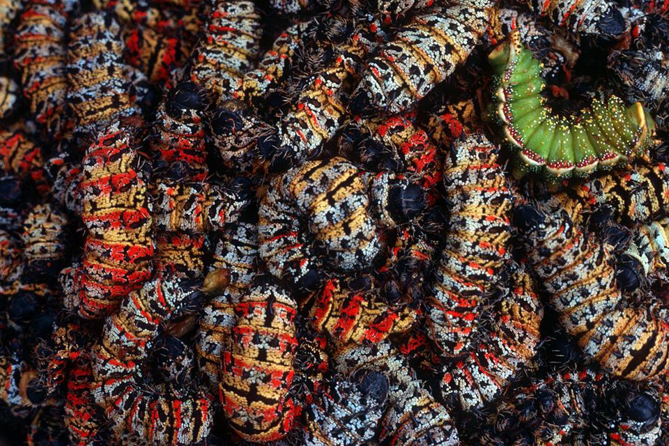 Traditional African Cuisine Mopane Worms