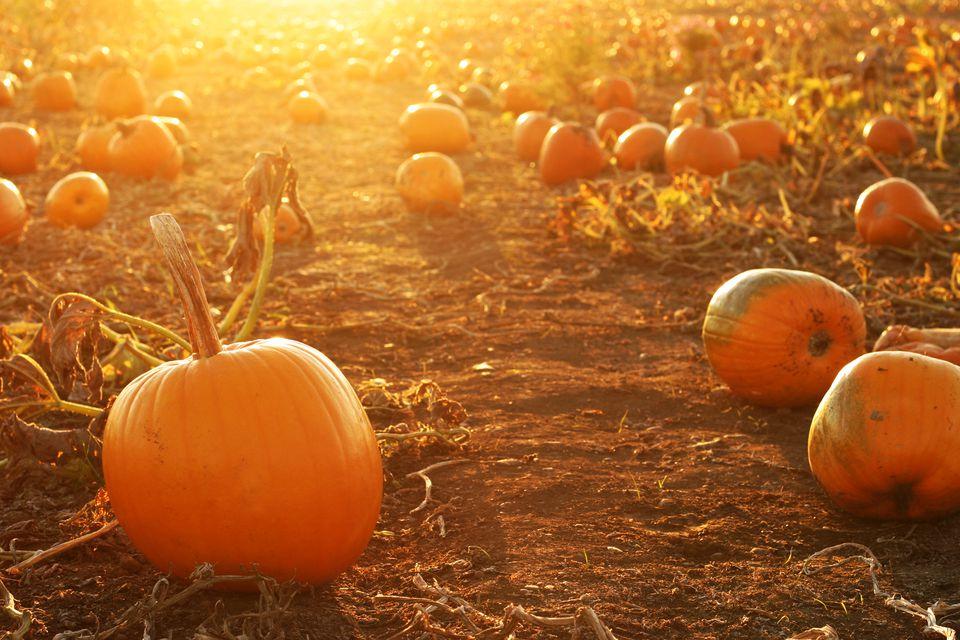 Halloween Pumpkins in a Pumpkin Patch with Setting Sun