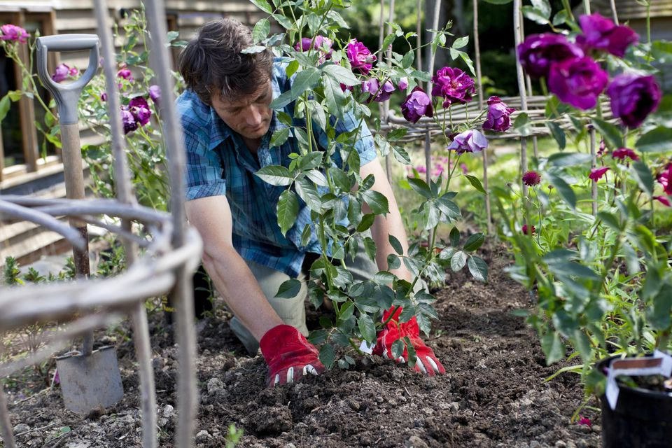 Man planting purple roses (Burgundy Ice) in a flower border bed.