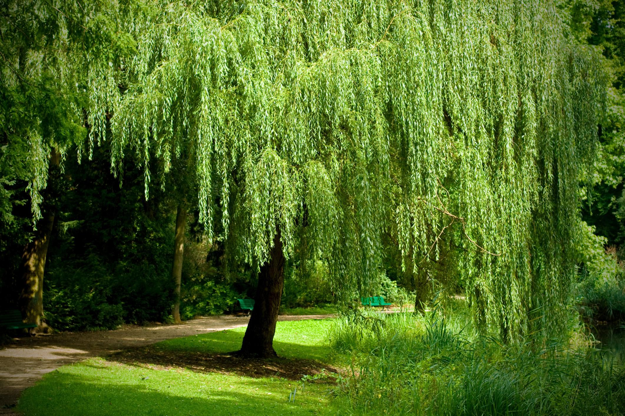 Learn How To Grow The Graceful Weeping Willow Salix Babylonica