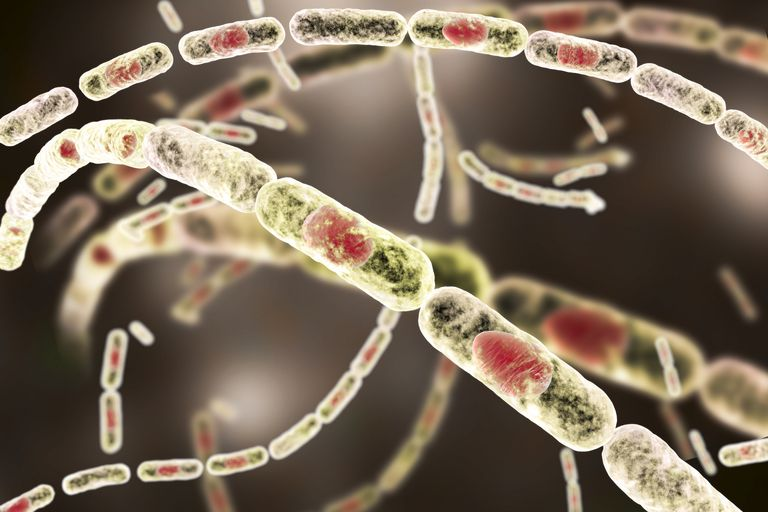 The Anthrax bacteria are rod-shaped bacteria that produce spores.