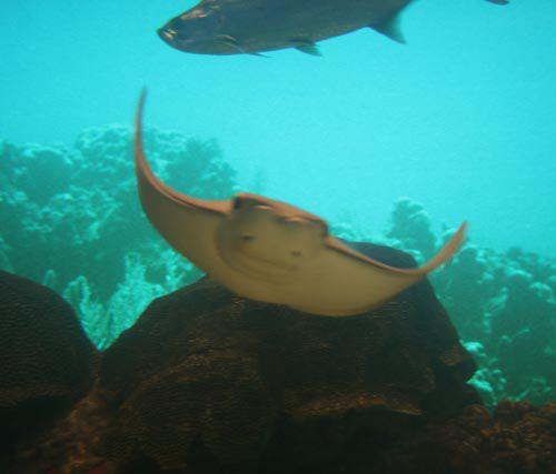 Stingray at Texas State Aquarium