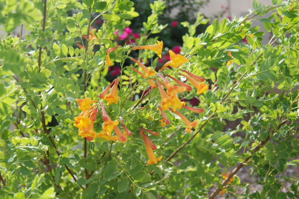 Desert Landscaping With Orange Jubilee Plants