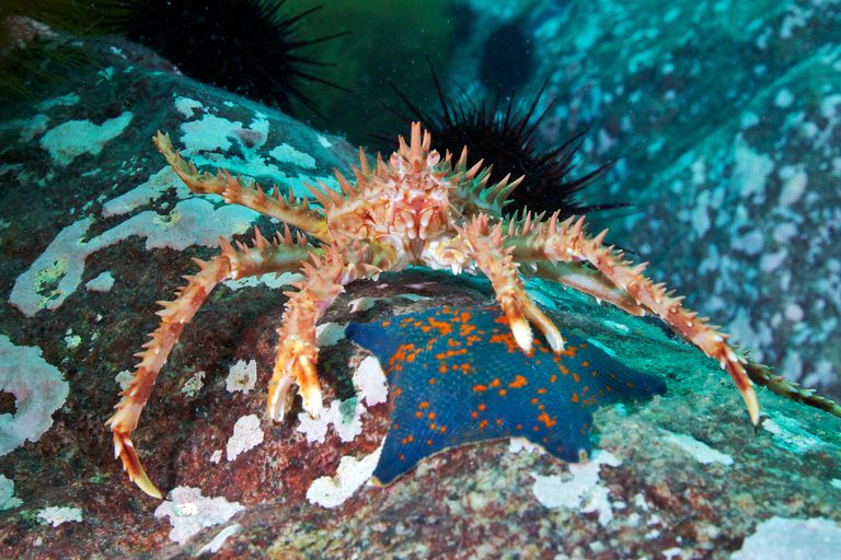 Red King Crab / Cultura RM/Alexander Semenov / Collection Mix: Subjects / Getty Images