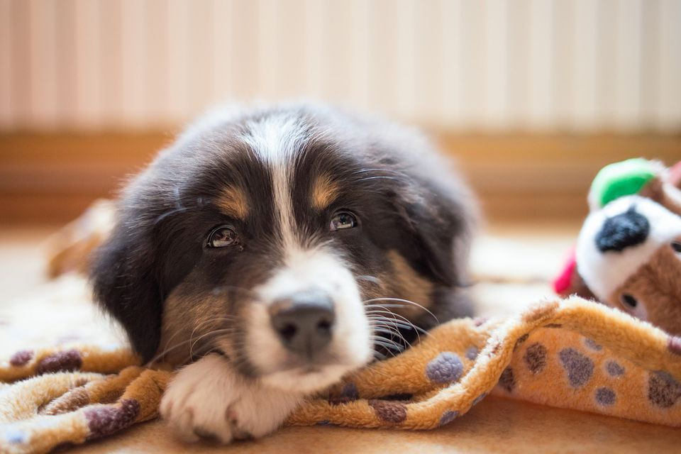 puppy lying on blanket in home
