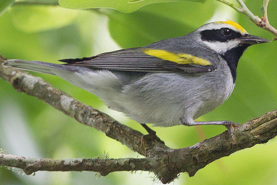 golden-winged-warbler-male.jpg