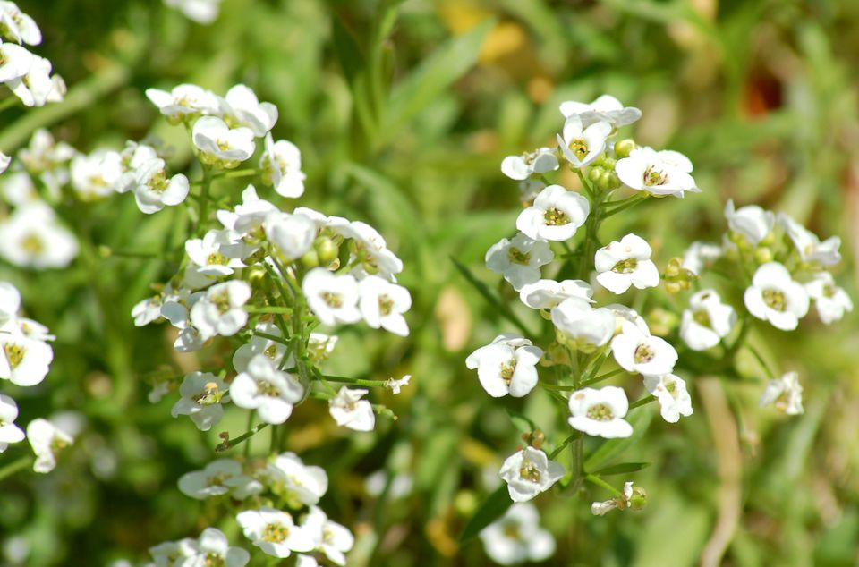 Sweet alyssum plant in bloom.