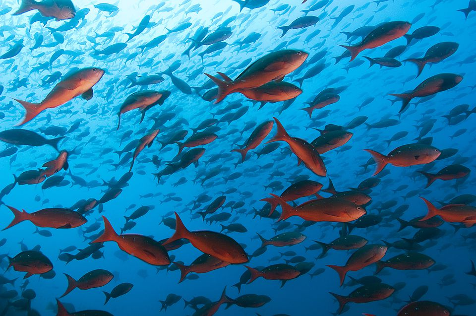 School of Red Snapper