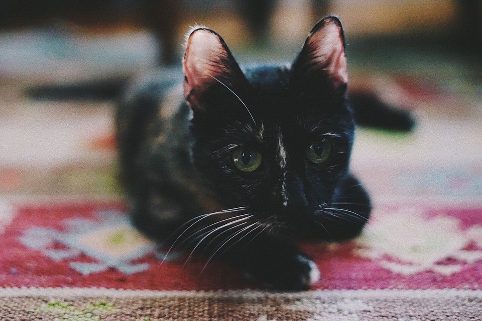 7 Pictures Of Pretty Tortoiseshell Cats And Kittens