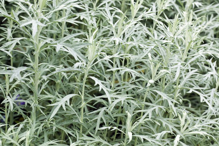 Silver Green Foliage of Mugwort (Artemesia)